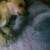 Продам чихуа - Изображение 3