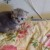 Продажа шотландских котят - Изображение 2